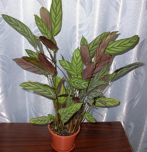 Домашний цветок маранта